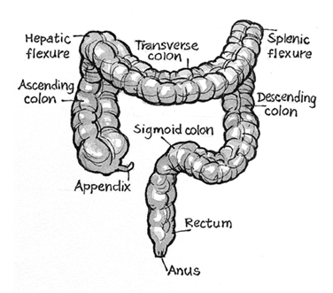 Dr. Coolen - Diagram showing parts of the bowel